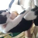 シロクロ 子猫 はちわれ♂