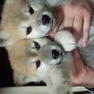 天然記念物 秋田犬の仔犬が産まれました。