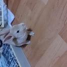 ウサギ(ミニレッキスの赤ちゃん)
