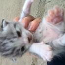 緊急募集 生後2週間仔猫