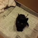 至急!黒猫こねこ