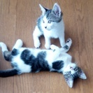 7/30生まれ、キジトラ白の仔猫2匹です。