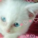 仔猫😸白猫😸青目👀尾長😻生後推定2ヶ月😸