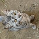 1才くらいの可愛いオス猫
