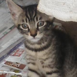 可愛いキジトラの子猫ちゃん