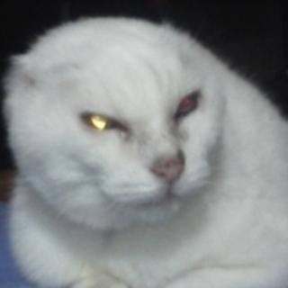 飼い主さんのお迎えを待っています。迷子の耳無し白猫オッドアイ雌保護...