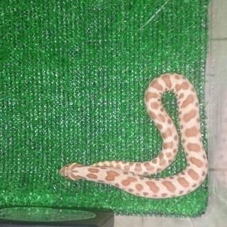 セイブシシバナヘビ ノーマル(メス) 引き取り募集