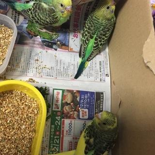 セキセイインコのヒナ3羽です。かわいいです(*≧з≦)