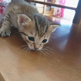 子猫 茶色 キジ??
