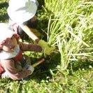里山で稲刈り