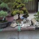 盆栽(趣味の品)大変希少価値の高いものです。 価格はご相談…