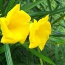 キバナキョウチクトウ種子5粒 /Thevetia peru…