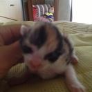 約2カ月のメスの仔猫です