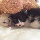 7月12日生まれ(2匹)♡ 子猫ちゃんを引き取ってくださる方、募...