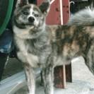 秋田犬の7ヶ月の女の子です。
