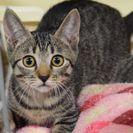 子猫の里親募集です(♀、4ヶ月齢、KC143)