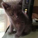 もうすぐ生後2ヶ月子猫オス