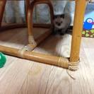 子猫の里親募集しています