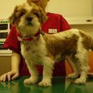 福島からのシーズーメス3~5歳 不妊手術・6種・狂犬病ワクチン 済み