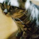 【急募】アメリカンショートヘアの成猫を飼ってくださる方お願いします。