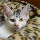 子猫の里親募集です#IC1087(3ヶ月齢、三毛、メス)