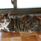 三毛猫♀約5歳