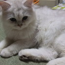 チンチラシルバー ♀ 2012.12.4生まれ 血統書付き