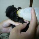 オスの黒猫の赤ちゃんの里親を募集しています