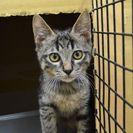 子猫の里親募集です#FC585(5ヶ月齢、キジトラ、オス)
