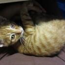 茶虎の仔猫を家族として迎えて下さるお方を探しています。