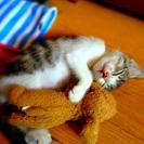 子猫三毛 メス 生後3ヶ月