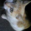 北海道北斗市函館市オス猫里親募集しております。