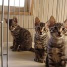 9月上旬生まれの子猫の里親さんを募集します。