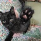 急募!可愛い黒の半長毛種の仔猫 &  黒&サビ色 雌5~7才位