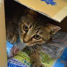 子猫の里親募集です#FC597(6.5ヶ月齢、キジトラ、オス)