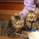 2匹の兄弟猫の里親募集です