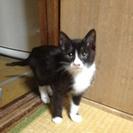 タキシード、ソックスのハチわれ子猫♀生後2ヶ月くらい