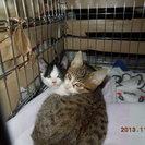 生後1カ月半ぐらいの子猫ニ匹です。もらっていただく方を探しています。