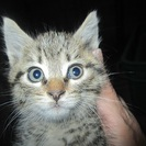 生後2ヶ月 雑種の子猫 里親さん募集