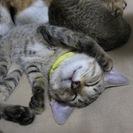 殺処分を免れました 3ヶ月の人なつこい子猫テラくん
