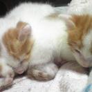 子猫4ヶ月の女の子 2匹です。
