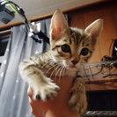 2-3ヶ月のめちゃ人懐っこいメス猫です。
