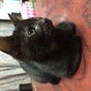 黒の子猫(オス)10月初旬生まれの3か月の里親募集!