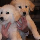ゴールデンレトリバーとピレネー犬の5代目のミックス犬です。白がオ...