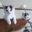 雑種×ラグドール の子猫もらってください。
