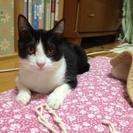 5ヶ月くらい♀美猫ハチわれちゃん