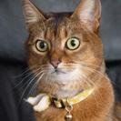 かわいい猫アビニシアン貰ってください