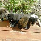 ★生後1か月半の子犬、5匹です!。