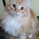 ラガマフィンの子猫お譲りします