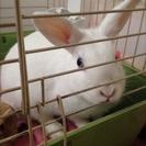 【至急】ミニウサギの里親募集(>_<)